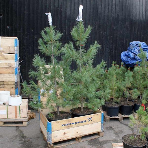 Технология выращивания хвойных деревьев 79