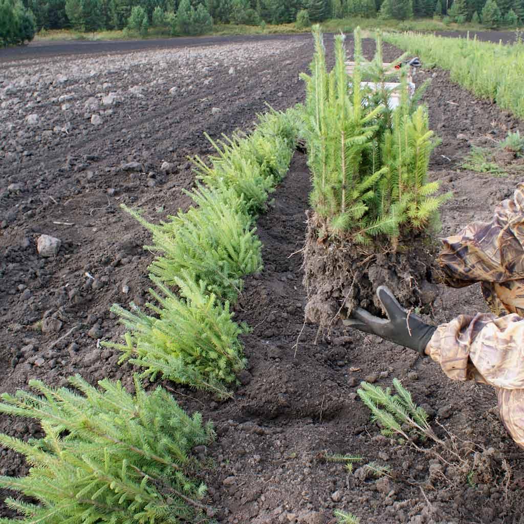 Особенности посадки ели - советы от Greensad